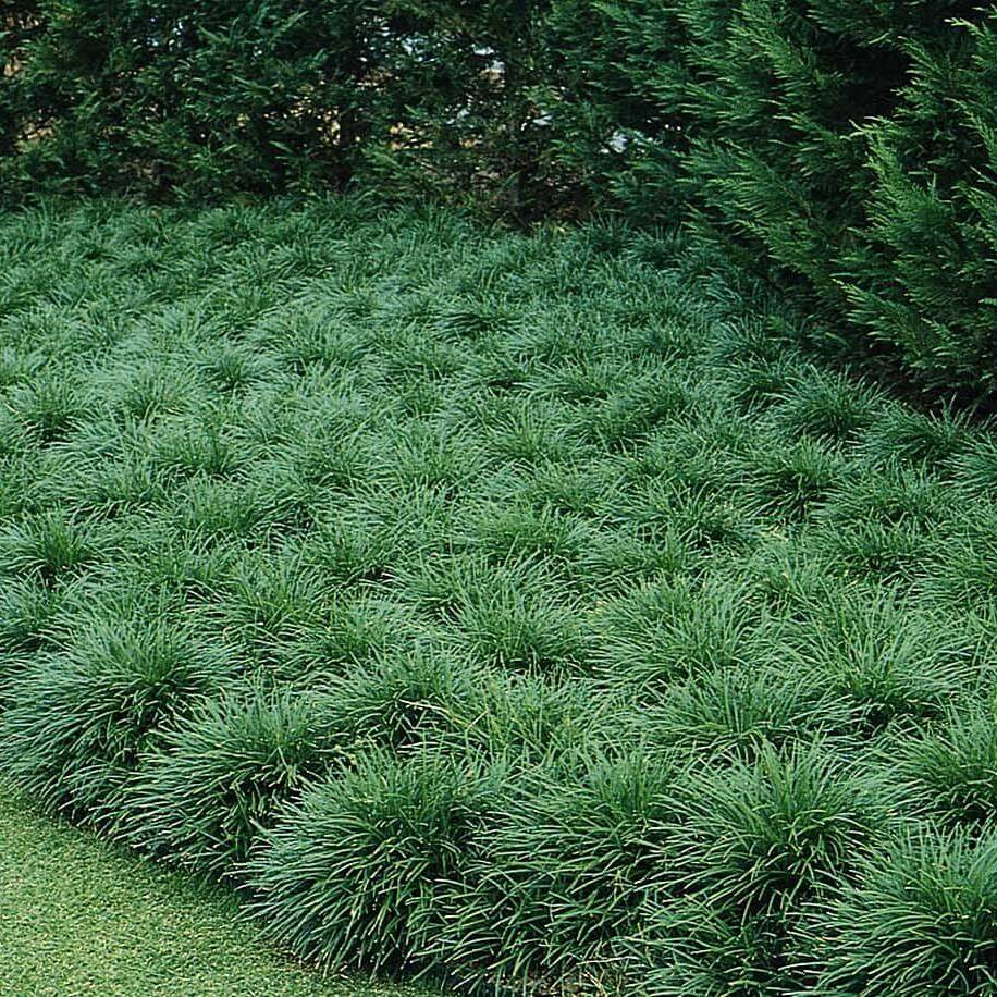 Grama Preta – Ophiopogon japonicus